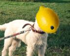 Orange(Wednesday)s and Lemons #95